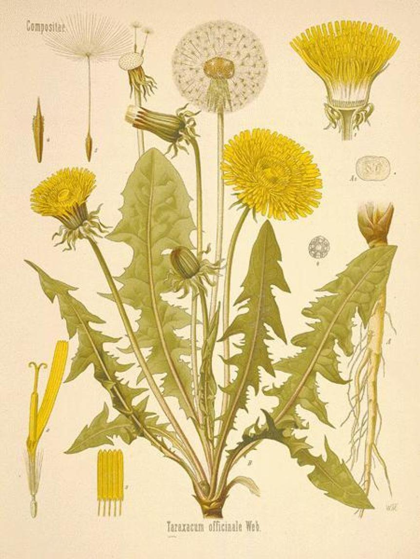 Dandelion the misunderstood herb Recipe
