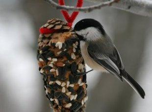 Pinecone Bird Feeder  with Bark Butter Recipe