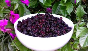 Aunt Sadie's Blackberry or Dewberry Dumplings Recipe