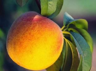 Peach Preserves Recipe