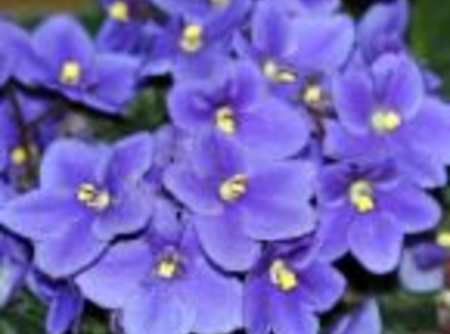 Violet cough syrup Recipe