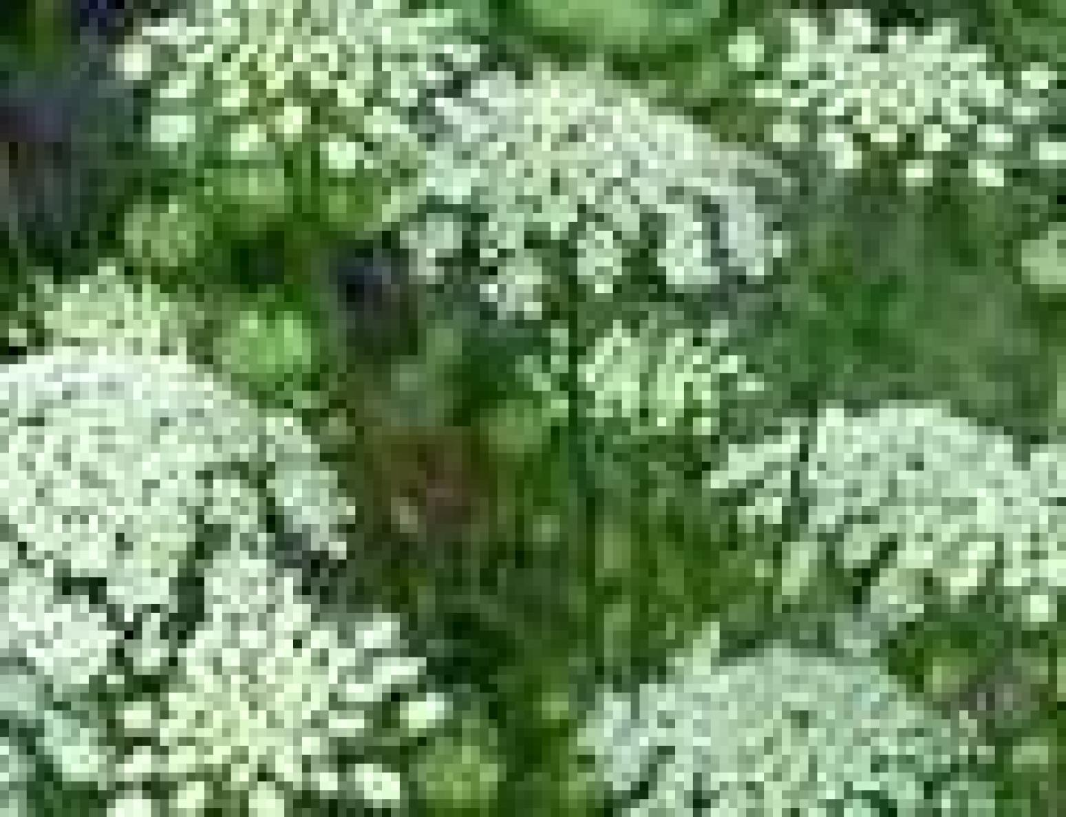 Queen Anne's Lace Flower Jelly Recipe